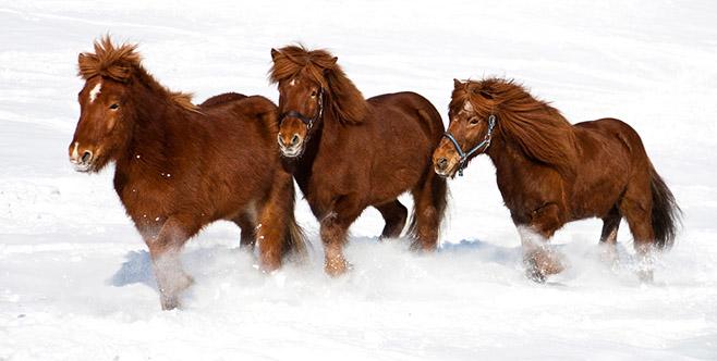 Islandpferde in Bewegung und trotzdem gestochen scharf dank kurzen Verschlusszeiten und gute Lichtverhältnissen