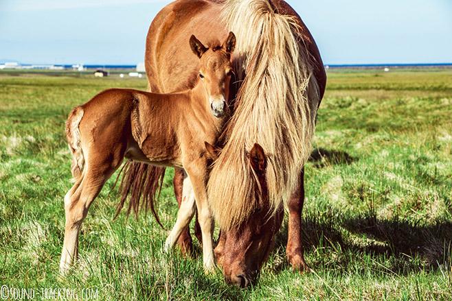 Beim Grasen stehen Stute und Fohlen meist still und erleichtern dem Fotografen das Einfangen eines schönen Familienporträts