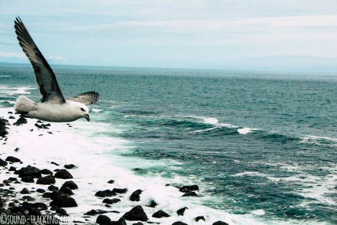 Island Fotoreise - Möwe im Anflug