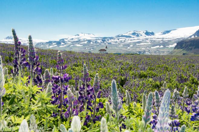 Island Fotoreise - Lupinenmeer und Kirche
