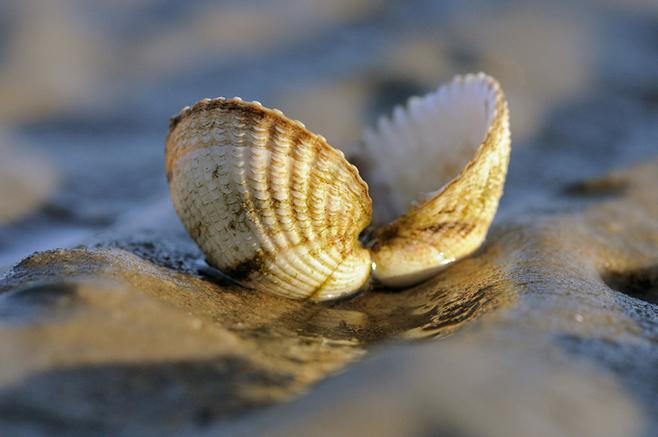 Muscheln im Abendlicht - Ein beliebtes Motiv für Nordseefans