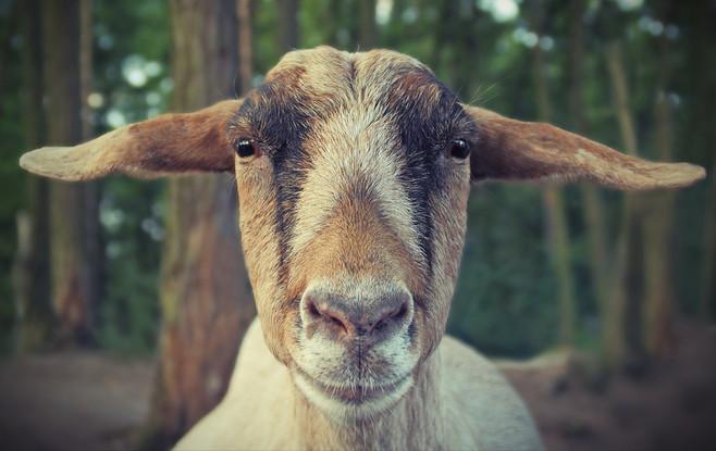 Die Nähe zum Motiv macht dieses süße Ziegenporträt qualitativ hochwertig. Eine natürliche Symmetrie ist durch die Stellung der Ohren und die gleichmäßige Färbung auf dem Nasenrücken gegeben.